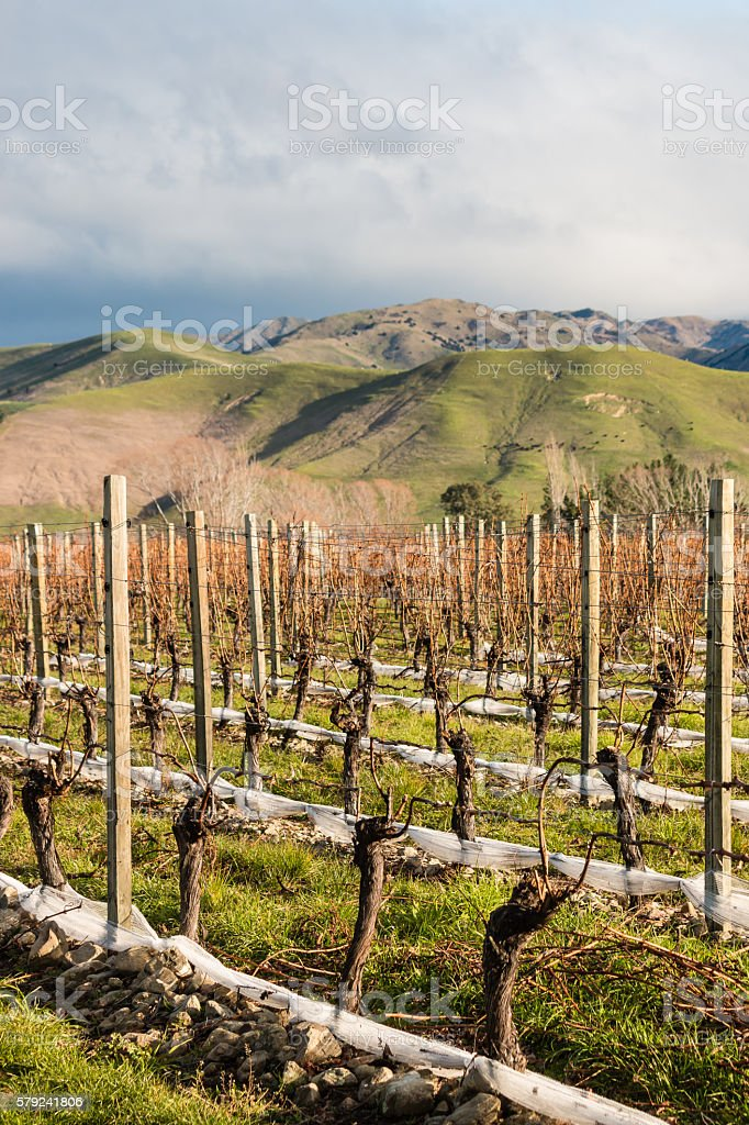 pruned grapevine in vineyard after harvest stock photo