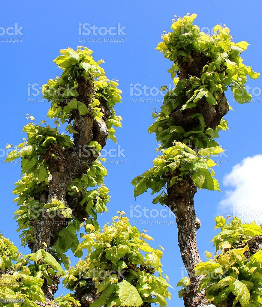 Pruned, pollarded lime tree (Tilia europaea) with fresh spring foliage stock photo