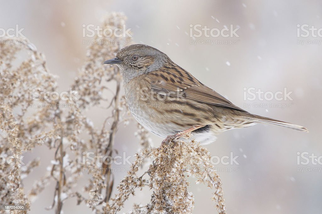 Prunella modularis in winter stock photo