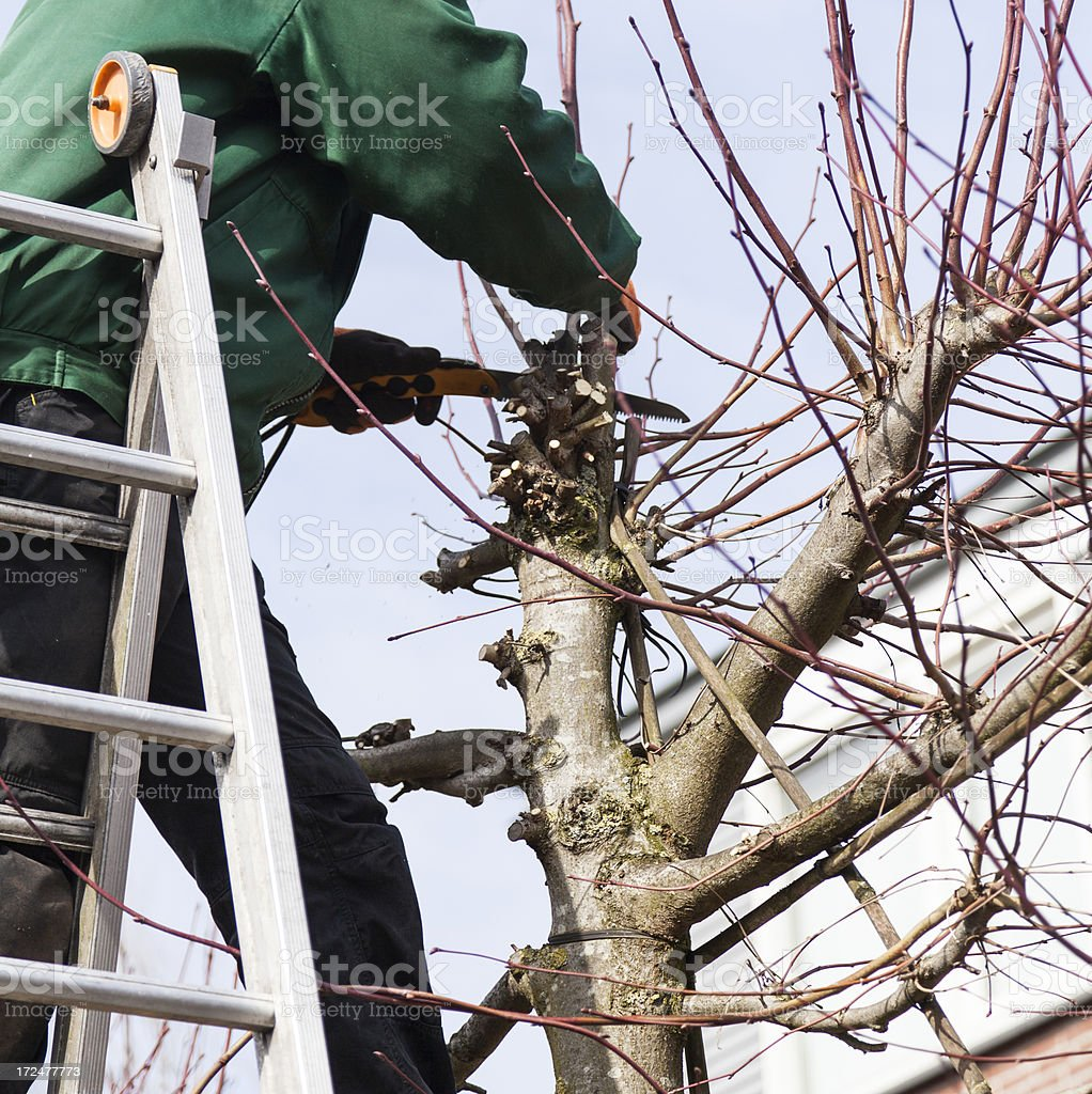 pruning a tree royalty-free stock photo