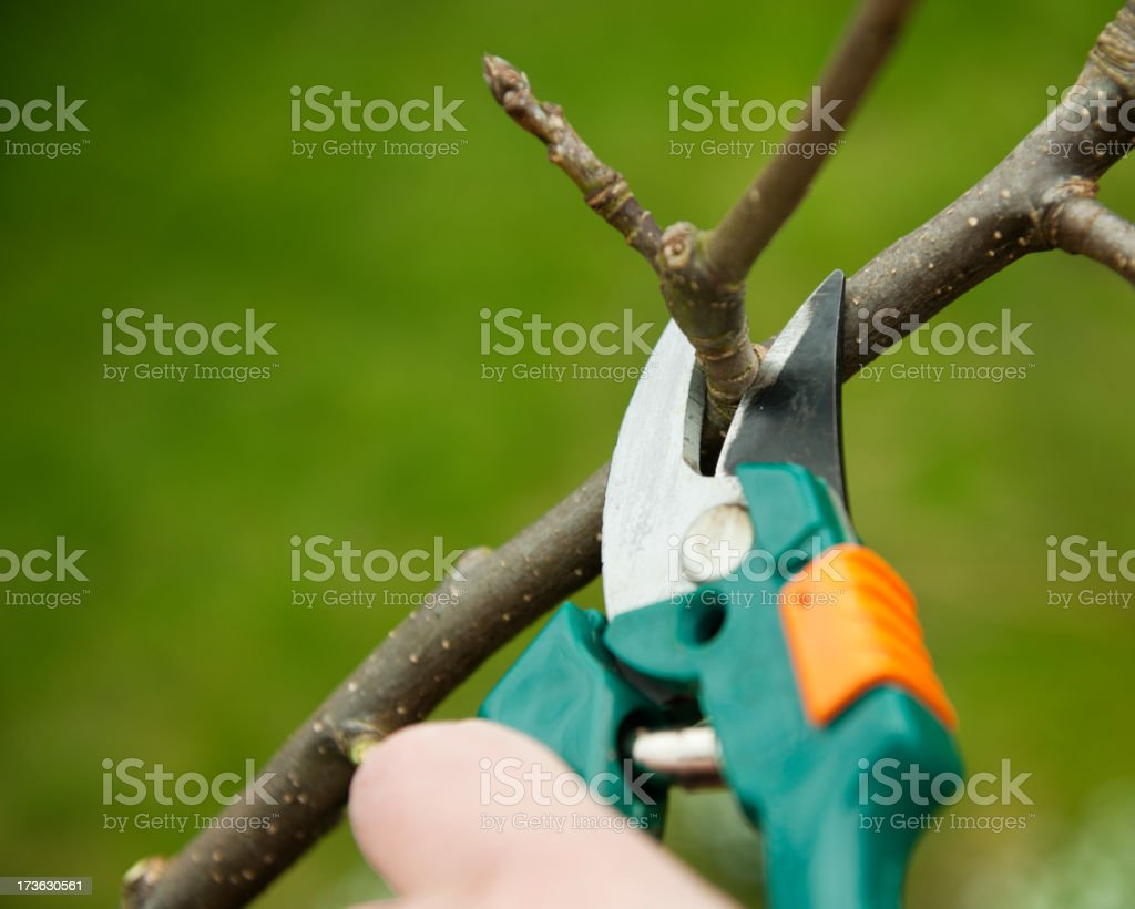 Pruning an apple tree royalty-free stock photo