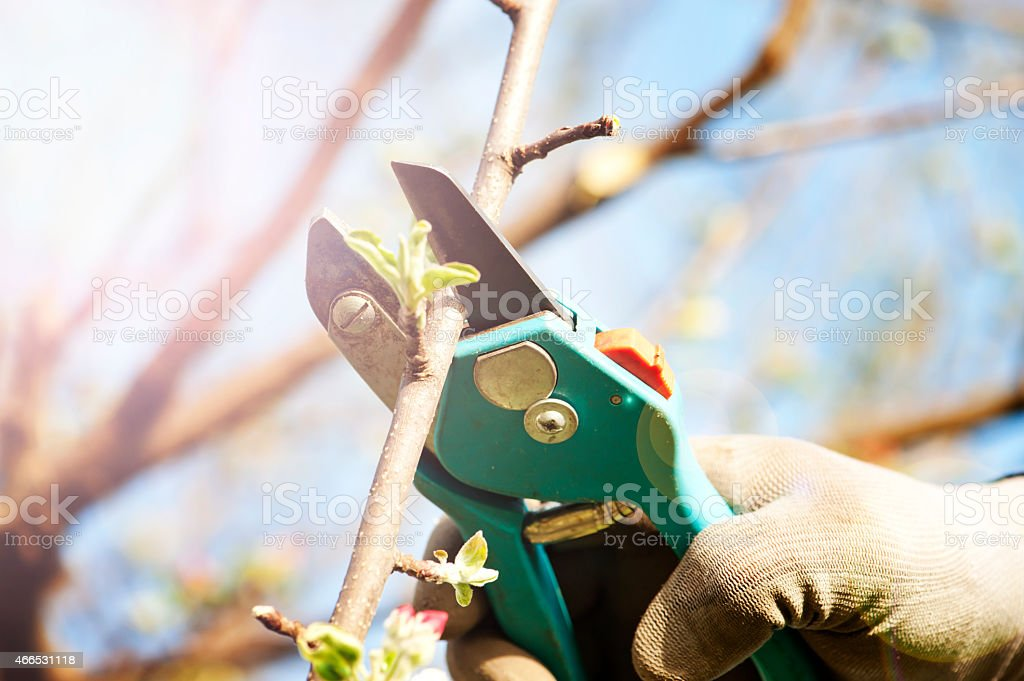 Pruning an apple tree stock photo