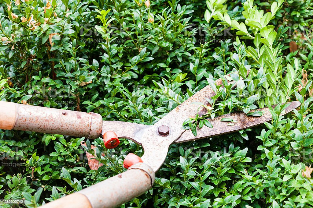 pruning boxwood bushes by garden pruners stock photo