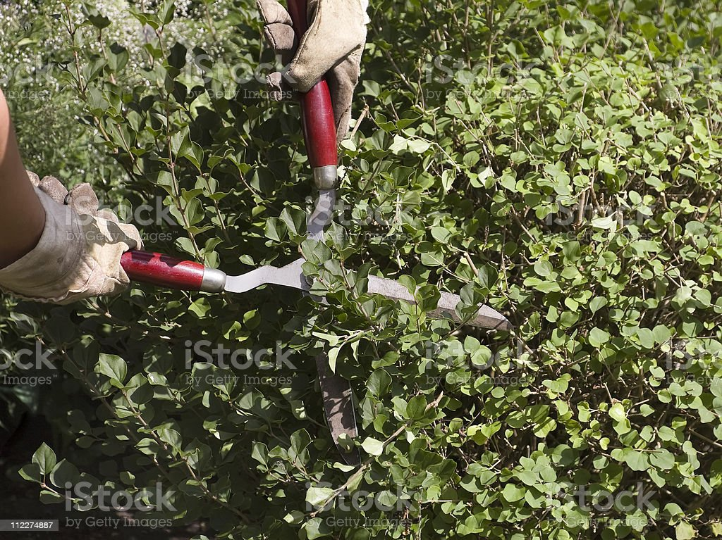 pruning close-up royalty-free stock photo