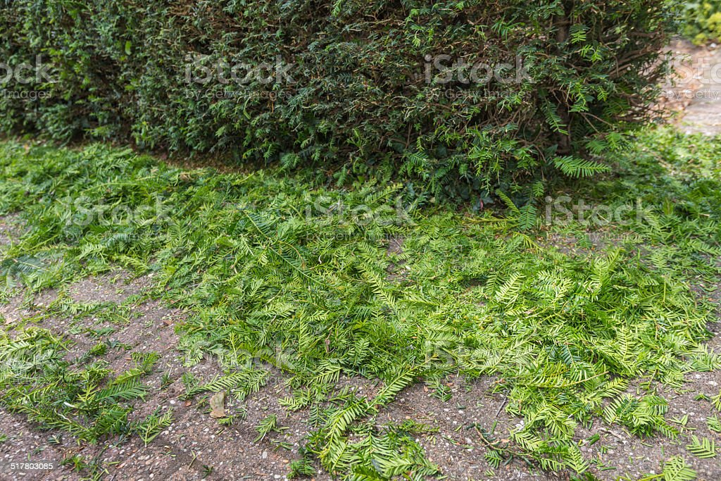 Pruning cuts from a Taxus Baccata or European Yew hedge stock photo