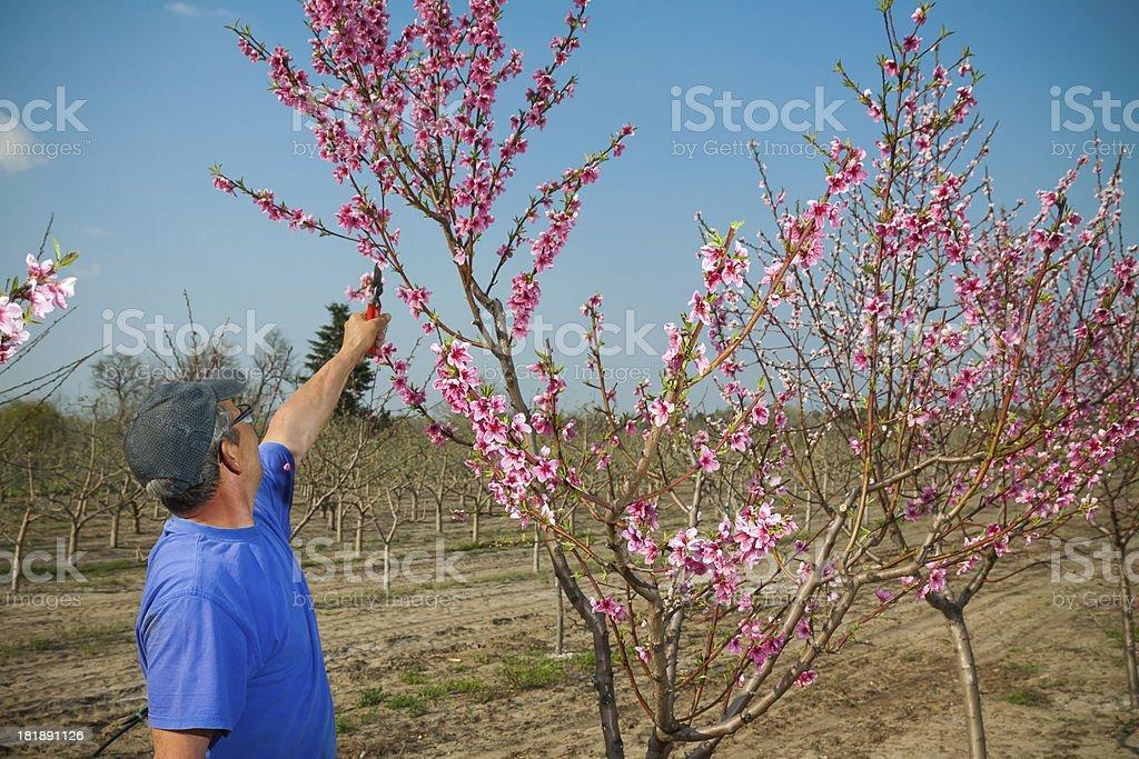 Pruning fruit tree royalty-free stock photo