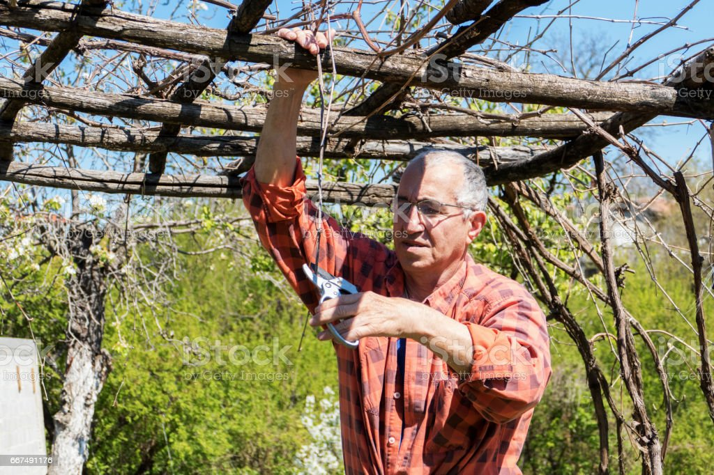 Pruning in the vineyard stock photo