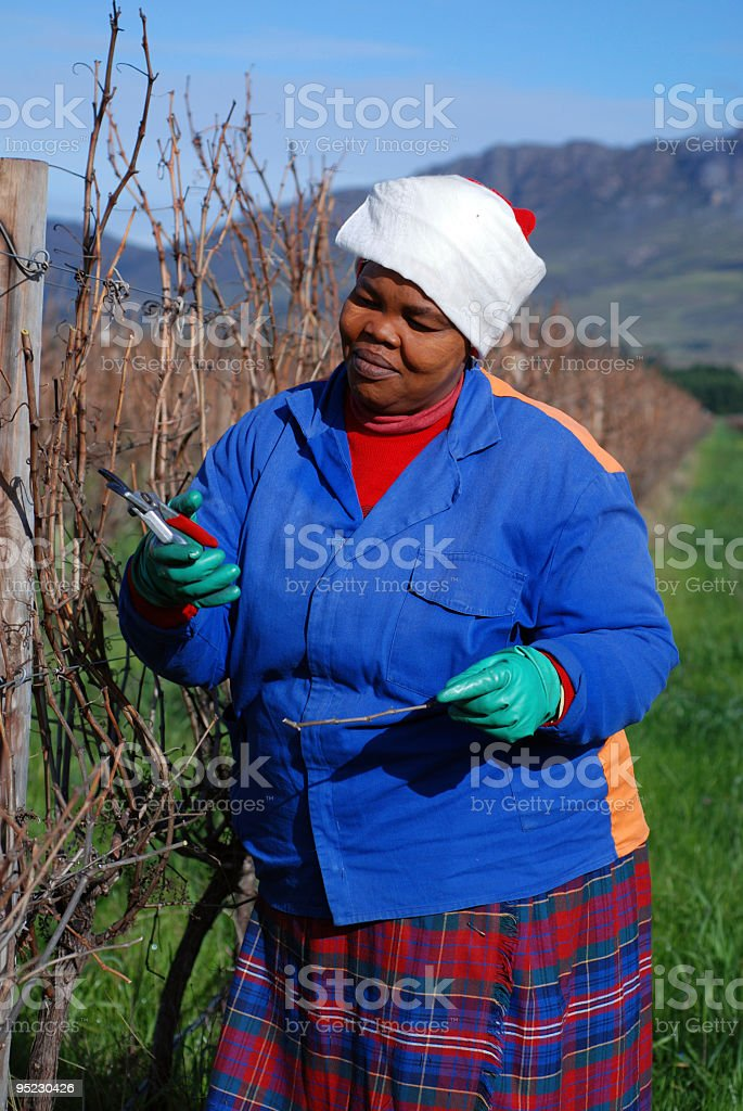Pruning the Vineyard stock photo