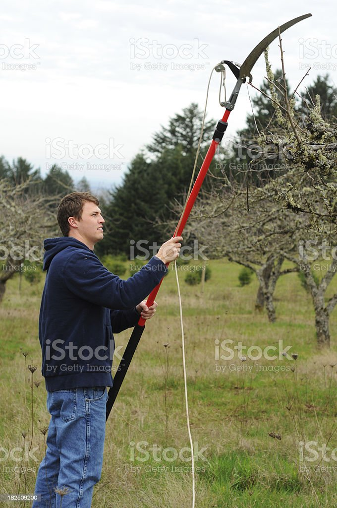 Pruning trees royalty-free stock photo