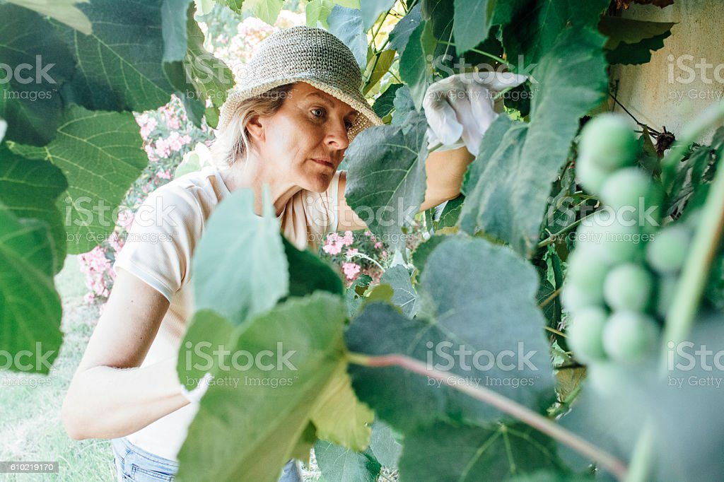 Pruning Wine Grapes stock photo