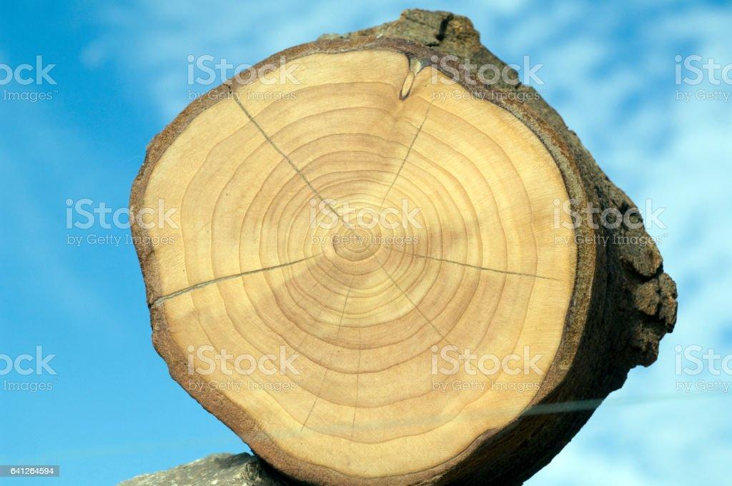prunus; Annual rings; stock photo