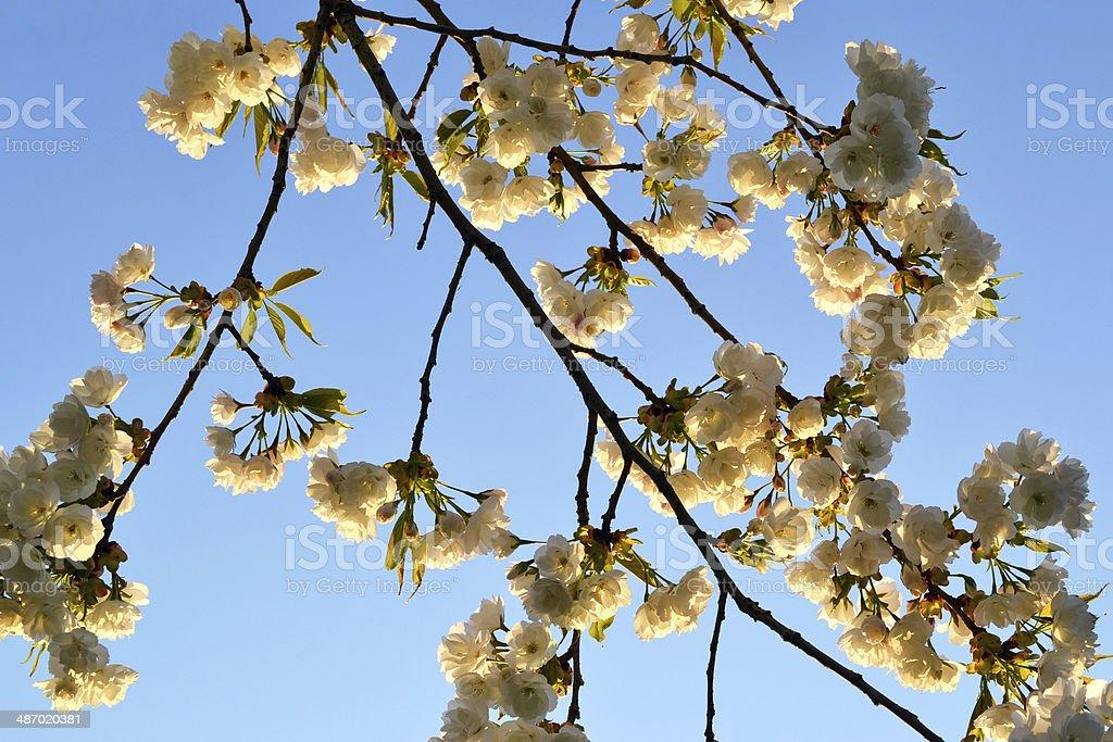 Prunus ブロッサムます。 ロイヤリティフリーストックフォト