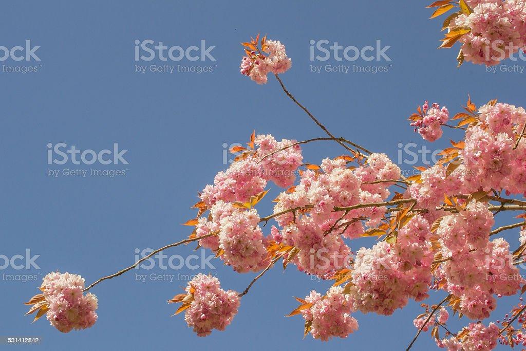 Prunus blossom. stock photo