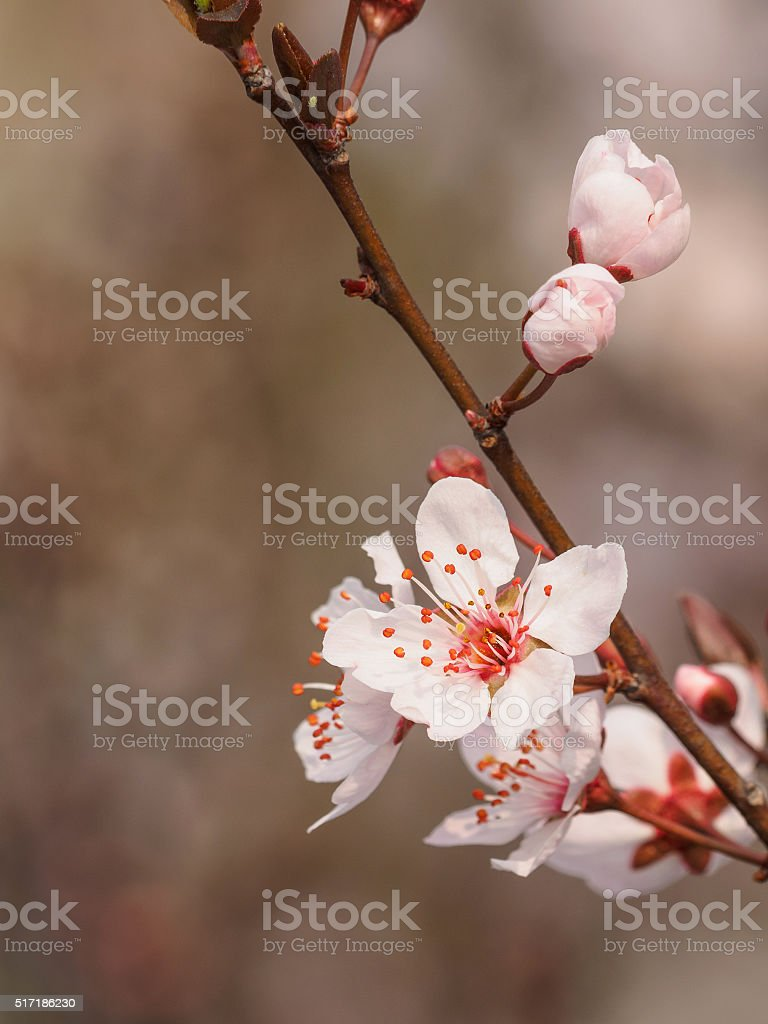 Prunus cerasifera branch with flowers and leaves. stock photo