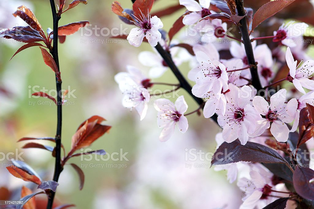 Prunus cerasifera Nigra flowers stock photo
