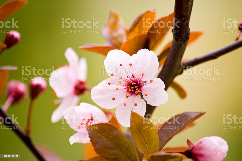 Prunus cerasifera Nigra. stock photo