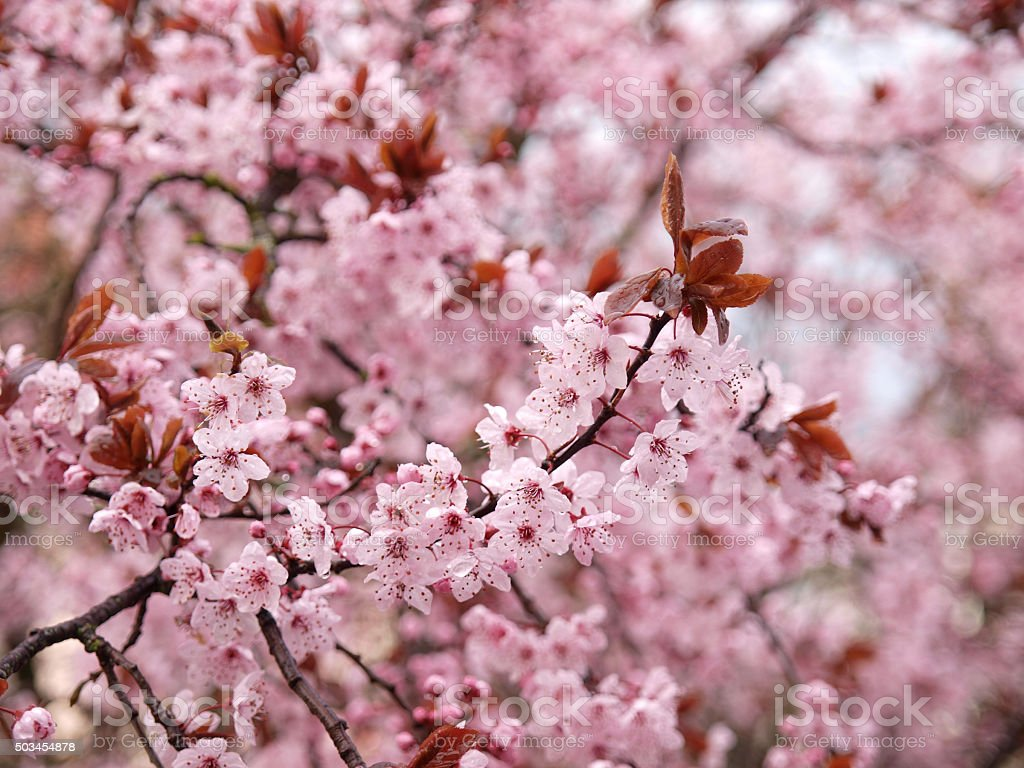 Prunus Cerasifera 'Nigra'. stock photo