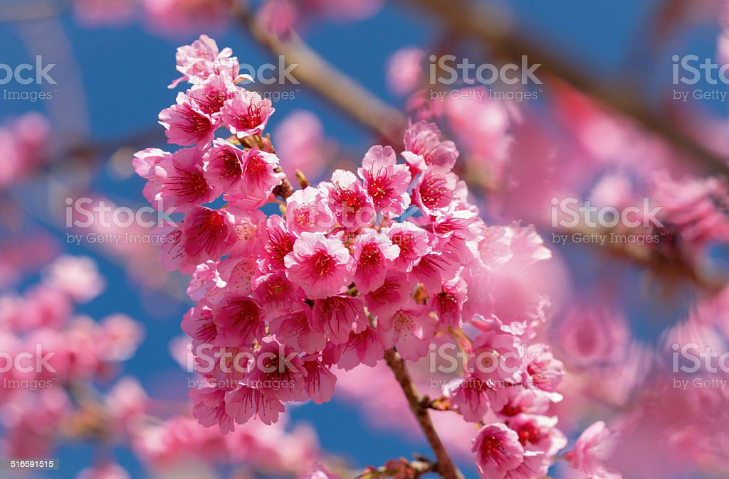 Prunus cerasoides stock photo