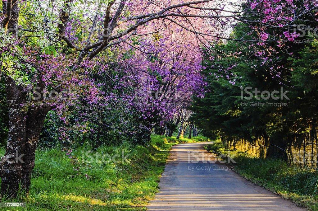 Prunus cerasoides, Wild Himalayan cherry blooming royalty-free stock photo