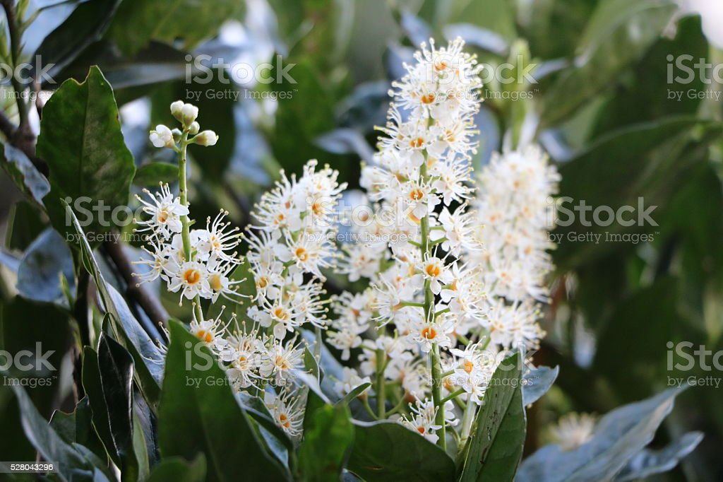 Prunus laurocerasus with large white flowers stock photo