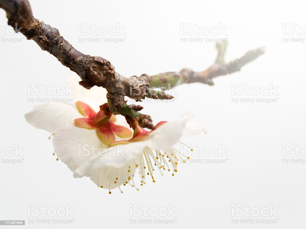 Prunus mume bonsai royalty-free stock photo