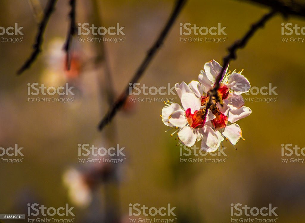 Prunus or plum blossom from rear view stock photo