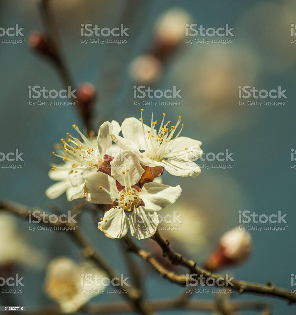 Prunus or plum blossom stock photo
