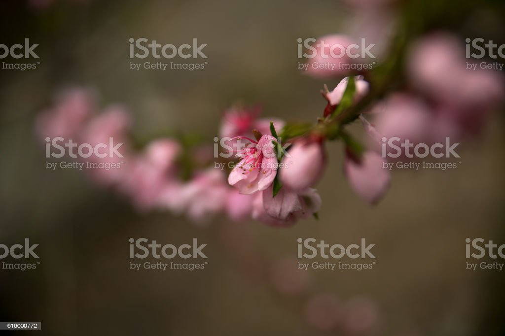 Prunus persica flowers stock photo