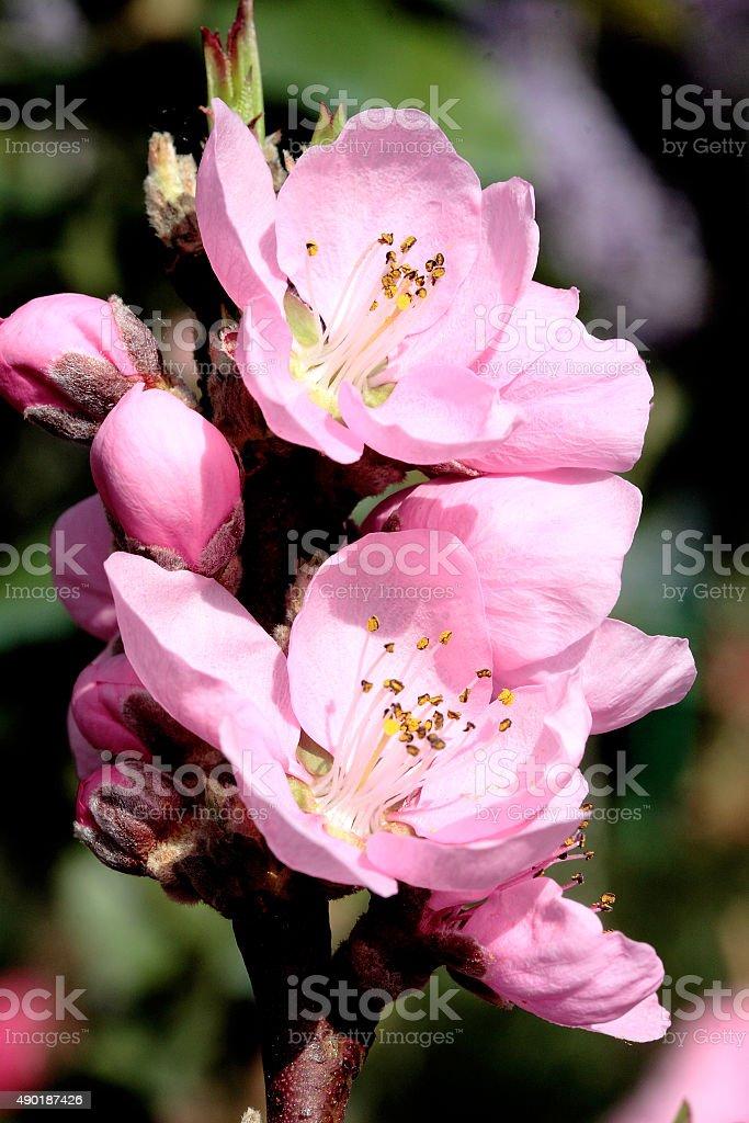 Prunus persica var. nucipersica stock photo