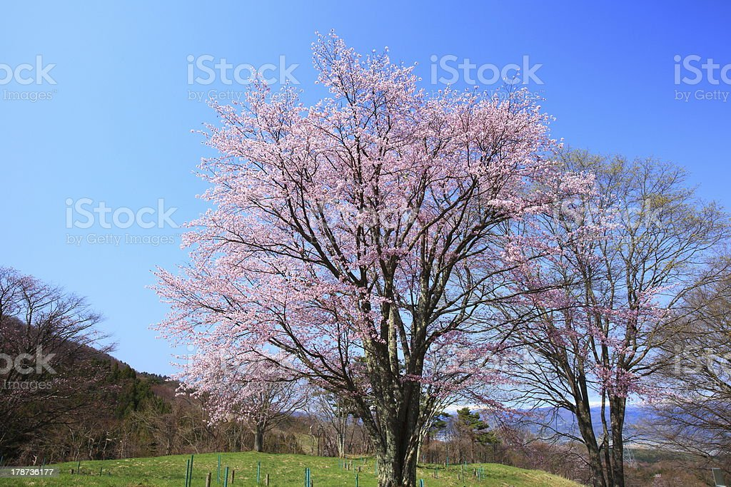 Prunus sargentii and blue sky stock photo