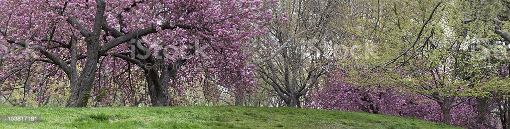 Prunus serrulata 'Kanzan' - Japanese Flowering Cherry stock photo