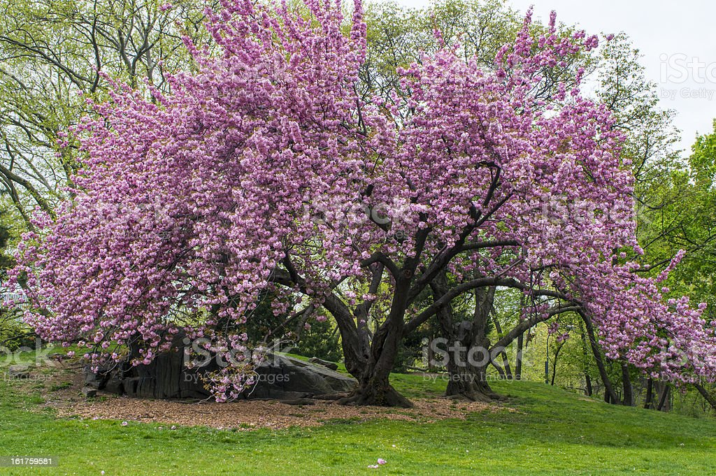 Prunus serrulata 'Kanzan' - Japanese Flowering Cherry royalty-free stock photo