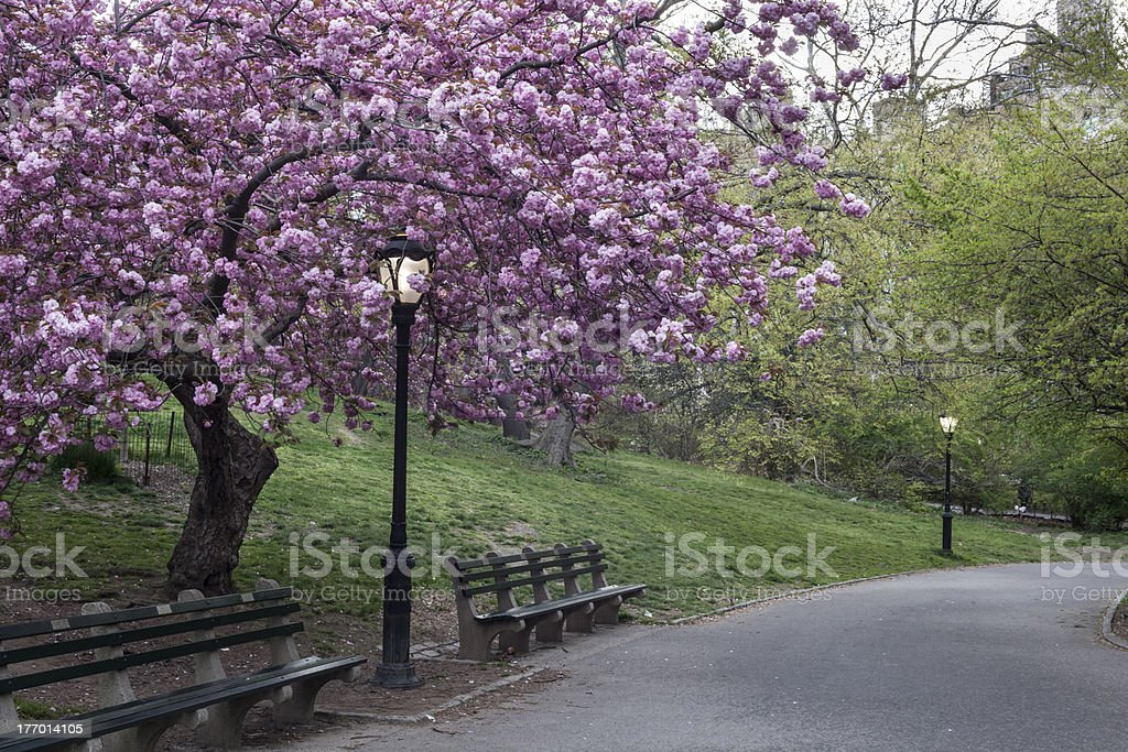 Prunus serrulata 'Kanzan' - Japanese Flowering Cherry royalty-free stock photo