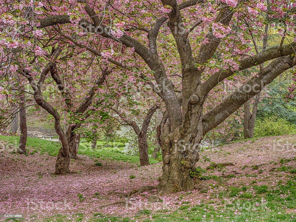 Prunus serrulata or Japanese Cherry stock photo