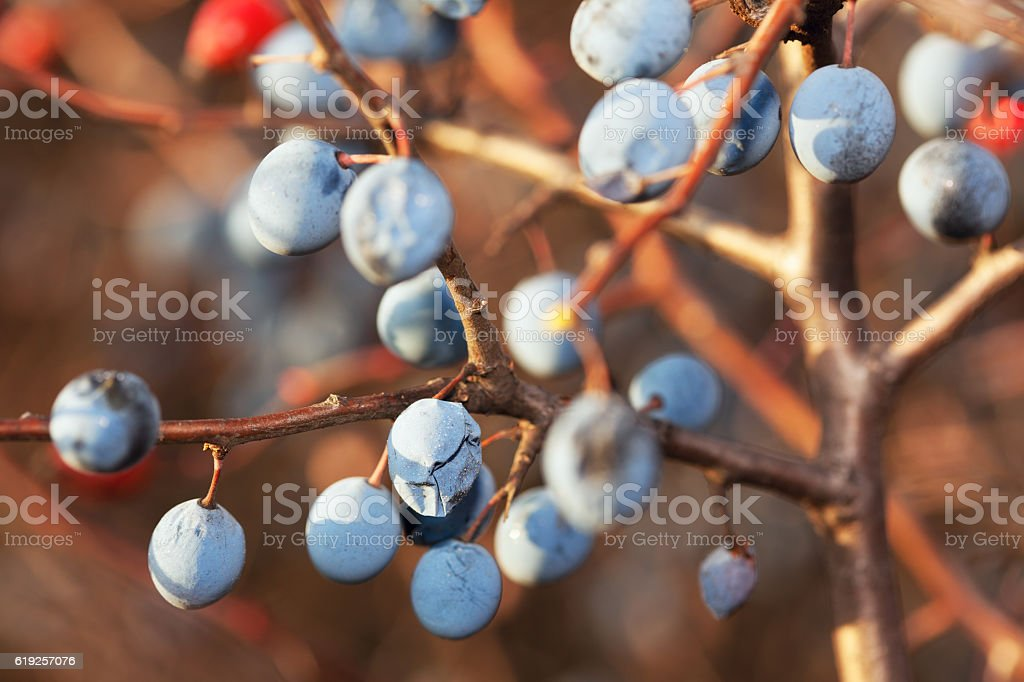 Prunus spinosa in autumn stock photo