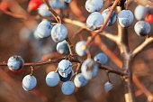 Prunus spinosa in autumn