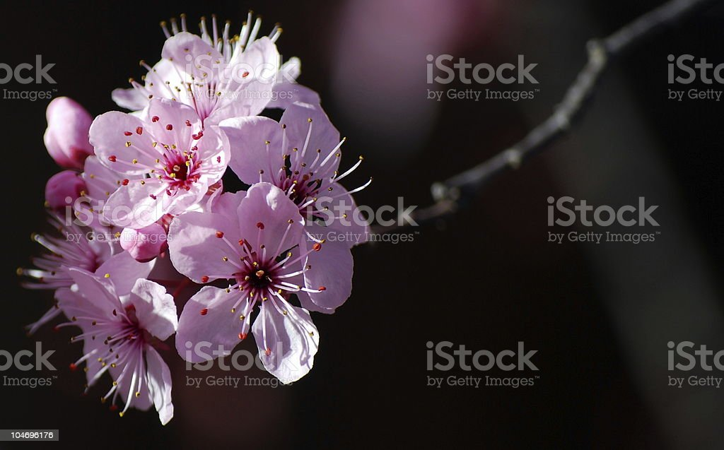 Prunus spp. Blossom isolated against black background royalty-free stock photo