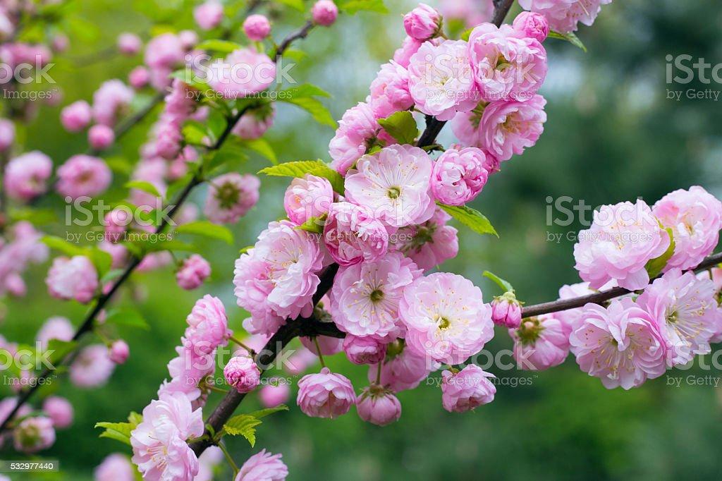 Prunus triloba in blossom stock photo