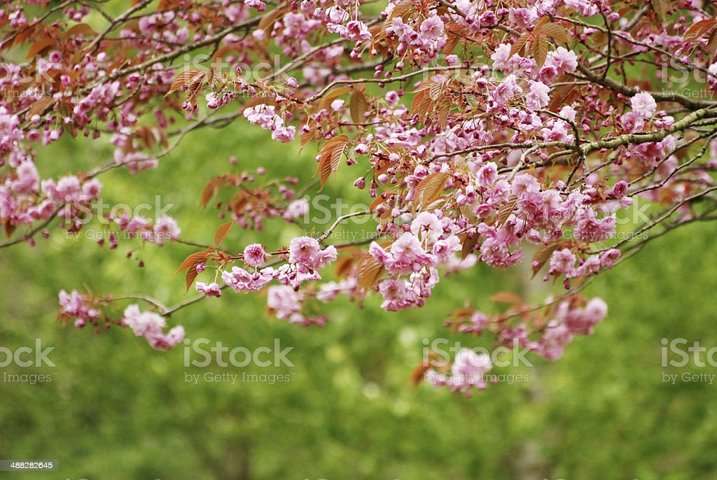 Prunus yedoensis or Japanese cherry-tree stock photo
