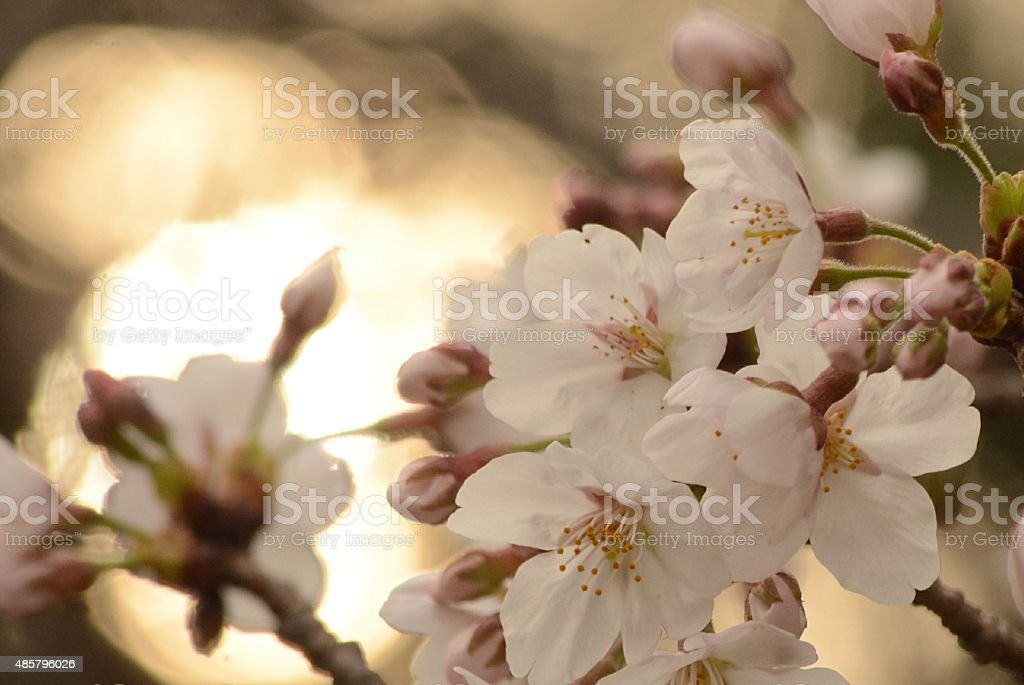 Prunus yedoensis stock photo