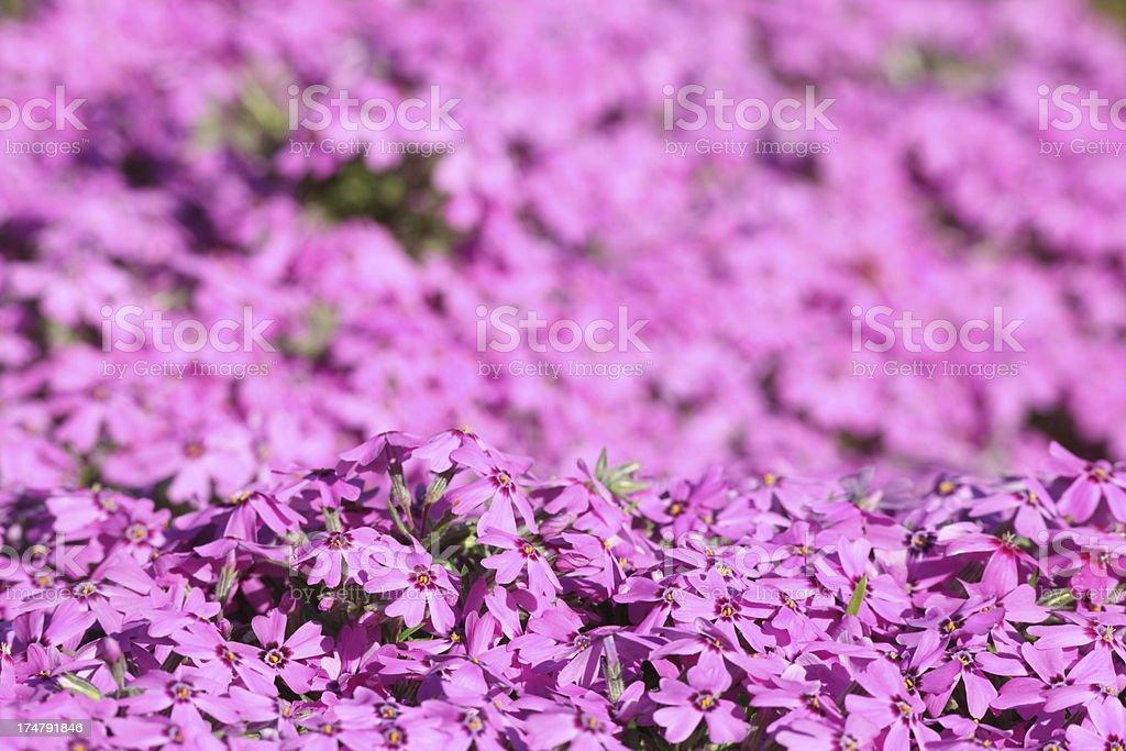 pruple flower carpet royalty-free stock photo