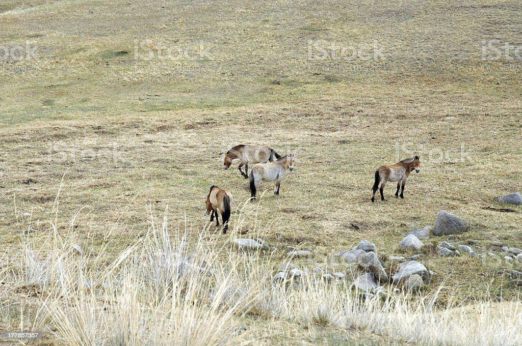 Przewalski horse in a pasture at the Mongolian steppe royalty-free stock photo