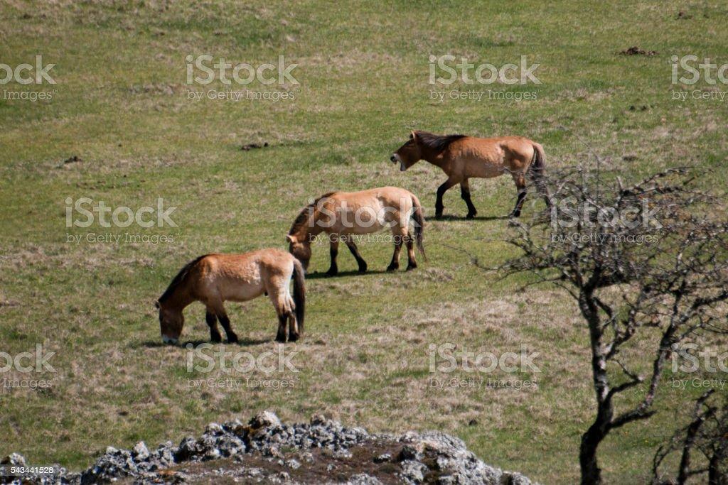Przewalski horses stock photo