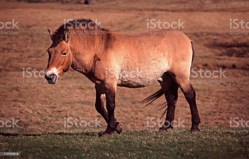Przewalski's Horse royalty-free stock photo