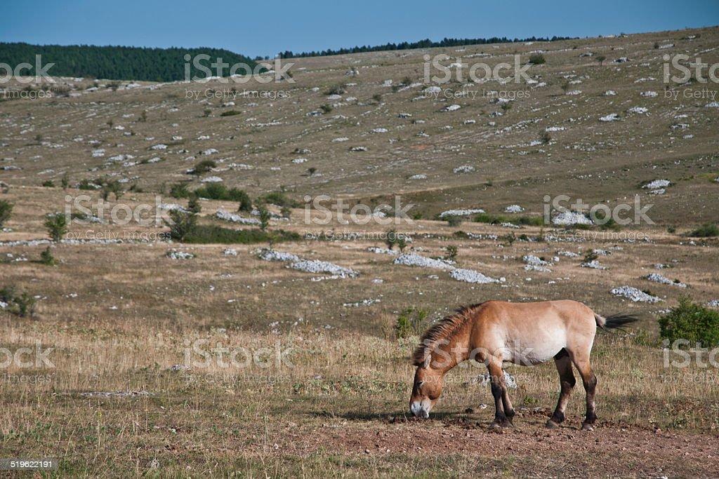 Przewalski's Horse stock photo