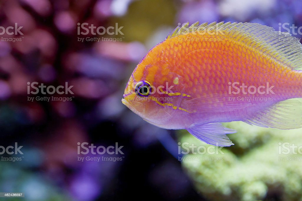 Pseudanthias squamipinnis stock photo