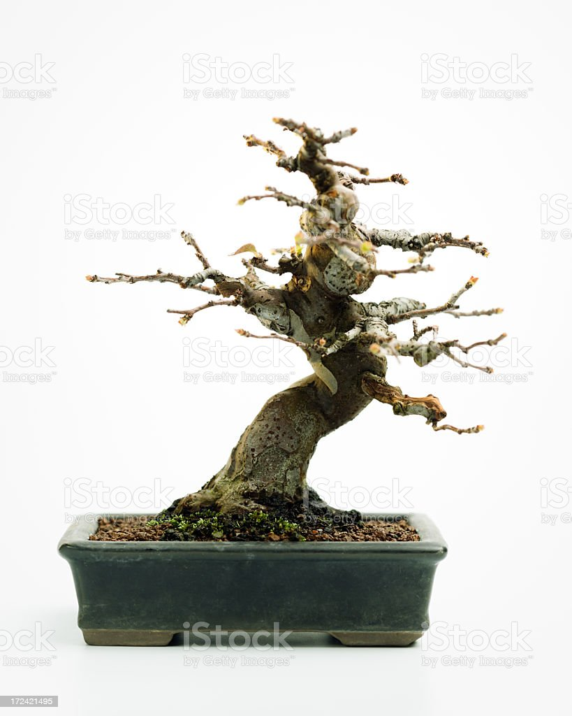 Pseudocydonia. Japanese quince tree bonsai. stock photo