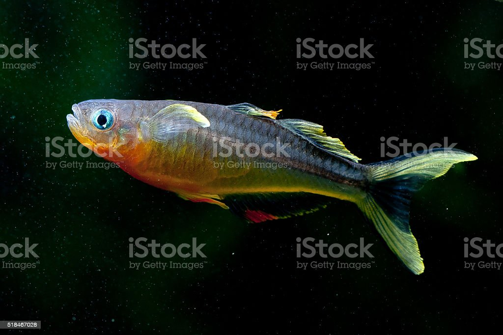 Pseudomugil furcatus stock photo