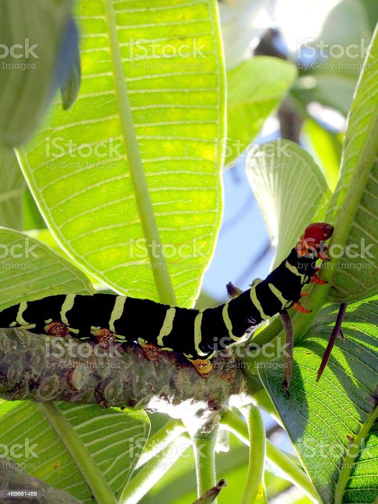 Pseudosphinx tetrio caterpillar erucae stock photo