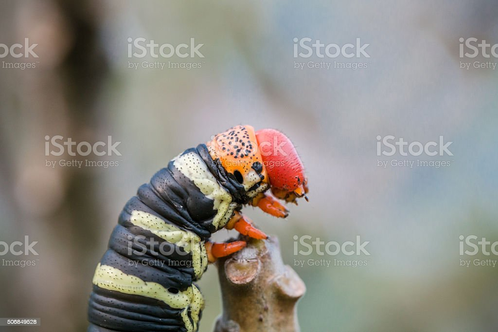 Pseudosphinx tetrio caterpillar on its host plant stock photo